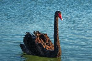 cisne-negro-covid19